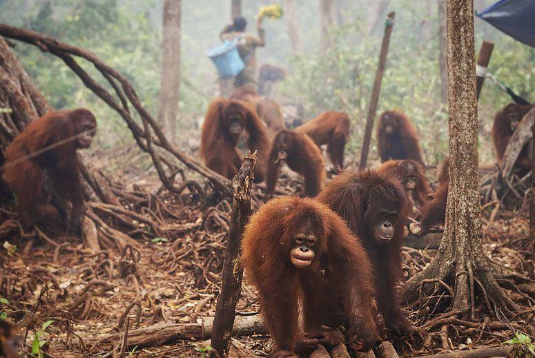 orangutans-fire-main